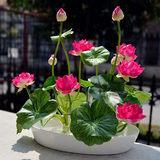 四季易种易活阳台庭院水培绿植睡莲荷花包邮碗莲花种子