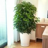 摇钱树种子 室内种子 想发财就养摇钱树钱 吸甲醛绿植盆景