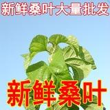 新鲜桑叶蚕叶 可摘叶摘桑葚桑苗 蚕宝宝新鲜桑叶农家现摘当日发货