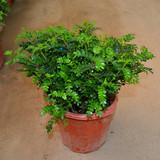 清香木花树苗 四季常绿庭院地栽植物盆景花卉盆栽包活大苗包邮