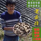 江南食材月子姜正宗老姜母 农家自种生姜老姜 新鲜小黄姜姜母500g