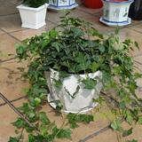 常春藤盆栽 强效除甲醛净化空气植物 卧室花卉绿植办公室绿化