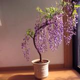 日本多花紫藤花苗盆栽庭院攀援花卉紫腾花爬藤植物朱腾萝树苗批发