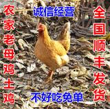 【健康无忧】农家散养2年老母鸡土鸡汤 月子鸡 笨鸡 柴鸡  草鸡