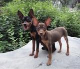 出售纯种小鹿犬迷你杜宾犬幼犬家养赛级高品质 活体宠物狗