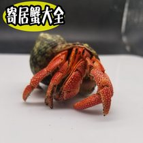 Hermit crab pet ornamental crab freshwater living Strawberry Short wrist terrestrial hermit crab living large 1-8cm