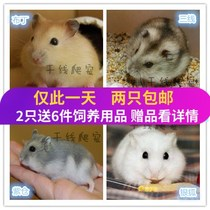 Buy 1 get 6 free special pet small hamster live baby three silver fox pudding purple warehouse package risk