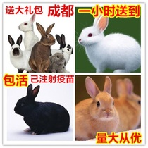 Chengdu small rabbit living Big Giant Princess Panda White Rabbit Rabbit Rabbit small rabbit baby small pet rabbit