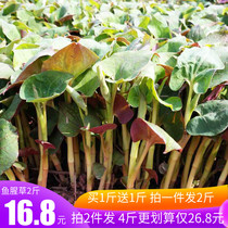 Sichuan fresh houttuynia leaves 2 pounds off the ears of young leaves pig nostrils Chengdu specialty snack salad vegetables stem