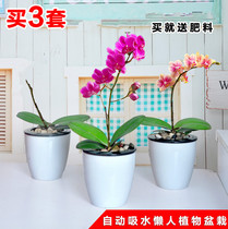 Indoor potted rose phalaenopsis orchid seedlings Phalaenopsis seedlings when flowering pot with lazy pots delivery