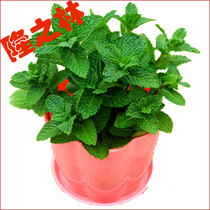 Mint seeds repellent edible lemon perfume cat mint seeds balcony indoor potted plants flowers seeds