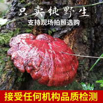 Guizhou Deep Mountain forest rouge Ganoderma lucidum sauvage la livre de spécial pur naturel ramification authentique rouge Ganoderma lucidum authentique 250g