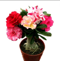 Four seasons flower flower Desert Rose seedling potted plant resistant to yin and cold green plant home indoor balcony view of flowering constantly more meat