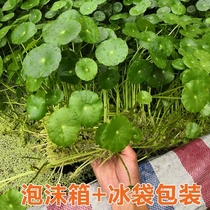 Aquatic plants pond turtle pond breeding sewage water purification fish tank hydroponic potted plants duckweed