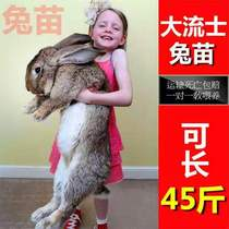 Child-Free Living Living rabbit Male Female a rabbit live hatchling live rabbit pet rabbit Darius giant rabbit