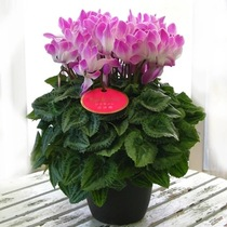 Mini double cyclamen rabbit ears potted plants indoor cold-resistant flowers with new varieties of four seasons