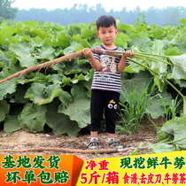 2019 now digging fresh burdock root 5 pounds of cattle next to the root list Xuzhou health vegetables gold burdock tea raw materials