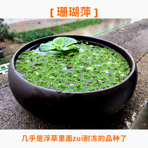 Freeze-resistant micro landscape material fish pond landscape plants hydroponic floating aquatic plants coral ping full river red snow duckweed