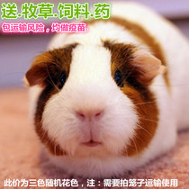 Dutch Pig Live Guinea Pig Live color dolphin pups Dutch mice three color Baby pets need to shoot cage