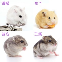 Mouse pudding domesticated cute pair of living pets small hamster small pet cub couple rat bedroom net red