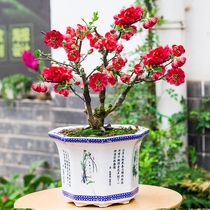 Double Begonia flower seedlings flower potted bonsai old pile indoor appearance flower green plant garden balcony Four Seasons flowering