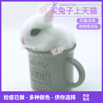 Pygmy rabbit living creatures pet rabbit living small mini cup rabbit West Begonia water hyacinth rabbit Dutch rabbit package