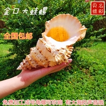 Natural sea snail gold Mouth Big Frog screw stone snail shell big law screw Horn screw home decoration gift collection