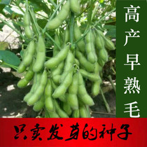 Vegetable soybean seed green yellow beans early maturity high yield fresh beans farmers spring and summer four seasons sowing vegetable seeds