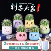 Cactus small potted office radiation-proof green living room purify air succulents flowering Cactus