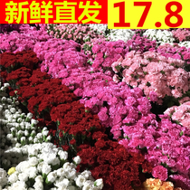 Yunnan base straight carnation flowers Wholesale a tie 20 with the city express delivery delivery mothers Day flowers straight batch