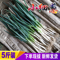 5 kg small onion Shandong onion free shipping vegetables vegetable farm from the seed fresh pancake roll dipping sauce