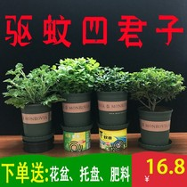 Repellent grass mint nine fragrant potted plants indoor air purification in addition to formaldehyde green garden anti-mosquito bonsai