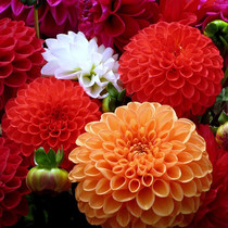 Dahlia seed courtyard Balcony potted Four seasons sowing heavy melon flower large chrysanthemum easy to grow flower seeds