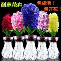 Hyacinth hydroponic set water flowers office potted desktop easy to live flowers plants Narcissus Lily